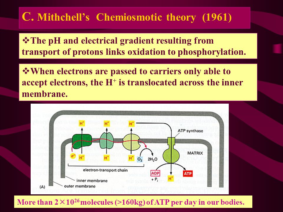 C. Mithchell's Chemiosmotic theory (1961)