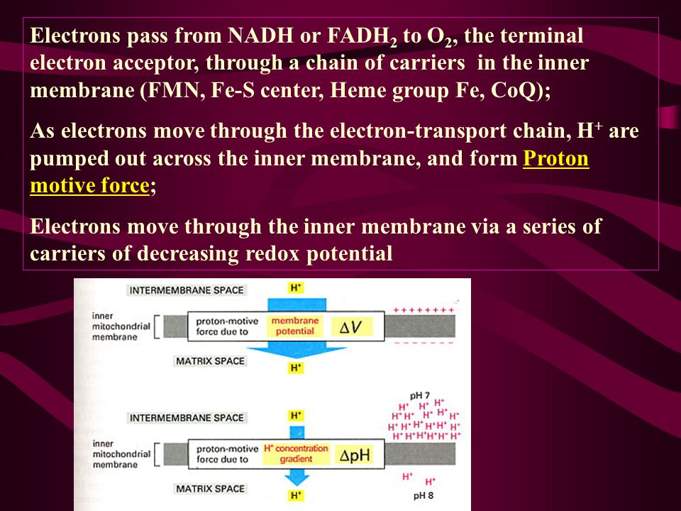 Electrons pass from NADH or FADH2 to O2, the terminal electron acceptor, through a chain of carriers in the inner membrane (FMN, Fe-S center, Heme group Fe, CoQ);