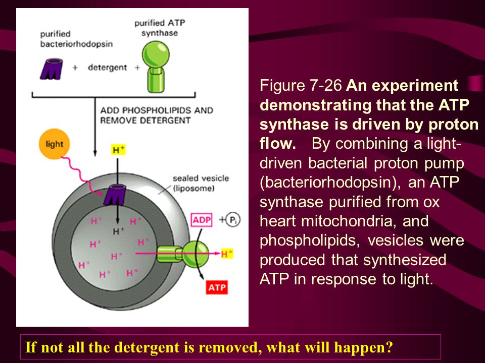 Figure 7-26 An experiment demonstrating that the ATP synthase is driven by proton flow. By combining a light-driven bacterial proton pump (bacteriorhodopsin), an ATP synthase purified from ox heart mitochondria, and phospholipids, vesicles were produced that synthesized ATP in response to light.