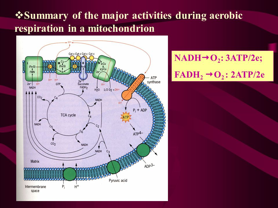 Summary of the major activities during aerobic respiration in a mitochondrion