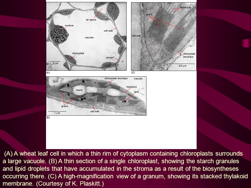 (A) A wheat leaf cell in which a thin rim of cytoplasm containing chloroplasts surrounds a large vacuole.