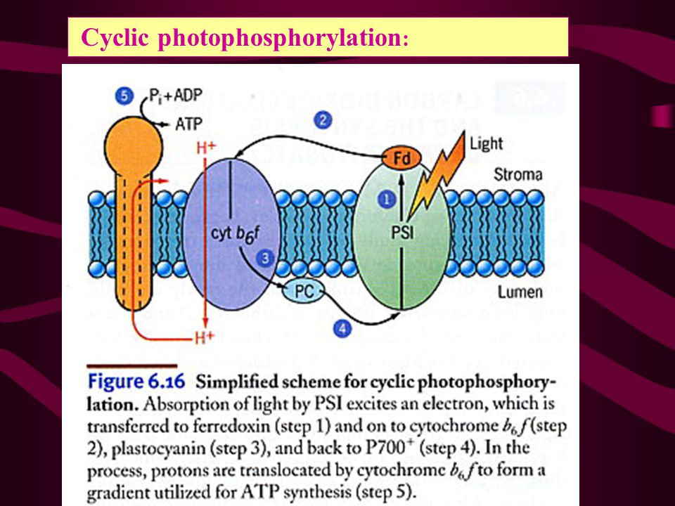 Cyclic photophosphorylation: