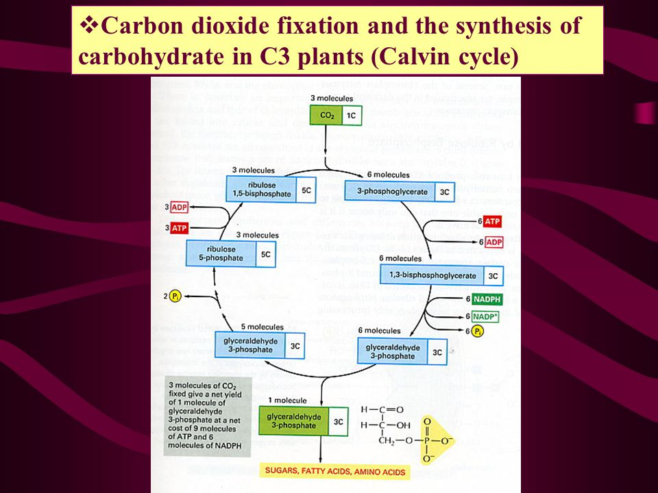 Carbon dioxide fixation and the synthesis of carbohydrate in C3 plants (Calvin cycle)