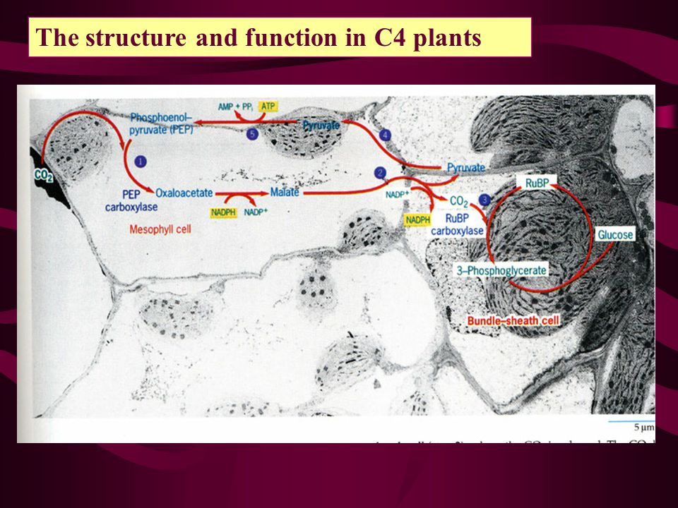 The structure and function in C4 plants