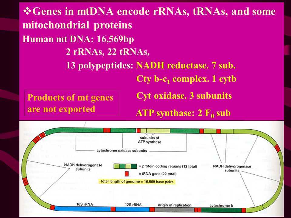 Genes in mtDNA encode rRNAs, tRNAs, and some mitochondrial proteins