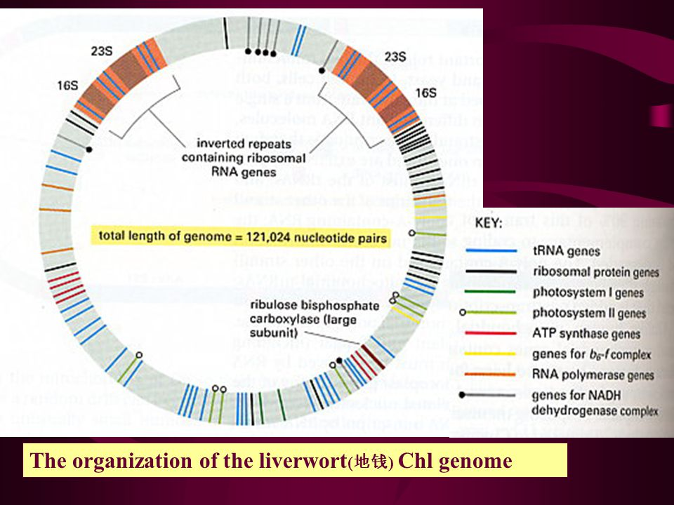 The organization of the liverwort(地钱) Chl genome