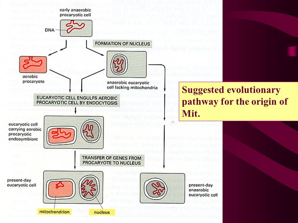 Suggested evolutionary pathway for the origin of Mit.