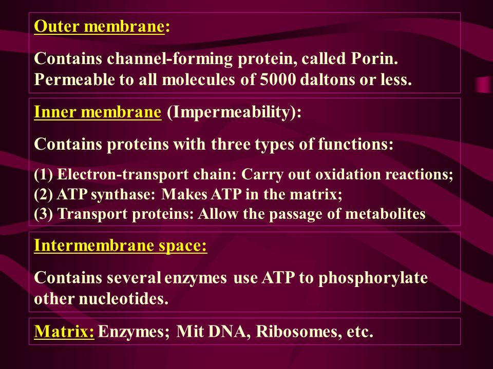 Inner membrane (Impermeability):
