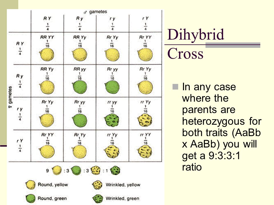 Dihybrid Cross In any case where the parents are heterozygous for both traits (AaBb x AaBb) you will get a 9:3:3:1 ratio.