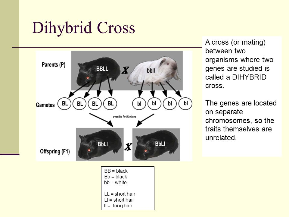 Dihybrid Cross A cross (or mating) between two organisms where two genes are studied is called a DIHYBRID cross.