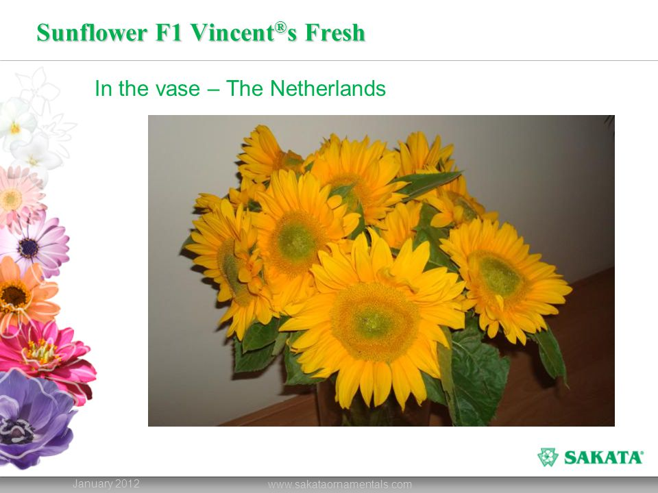 Sunflower F1 Vincent®s Fresh
