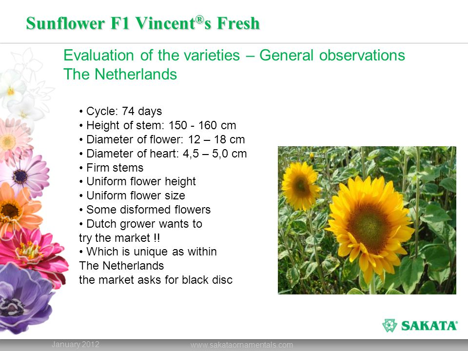 Sunflower F1 Vincent®s Choice