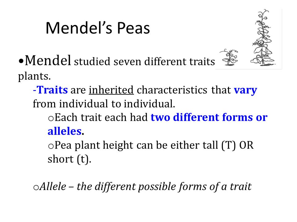 Mendel's Peas Mendel studied seven different traits in pea plants.