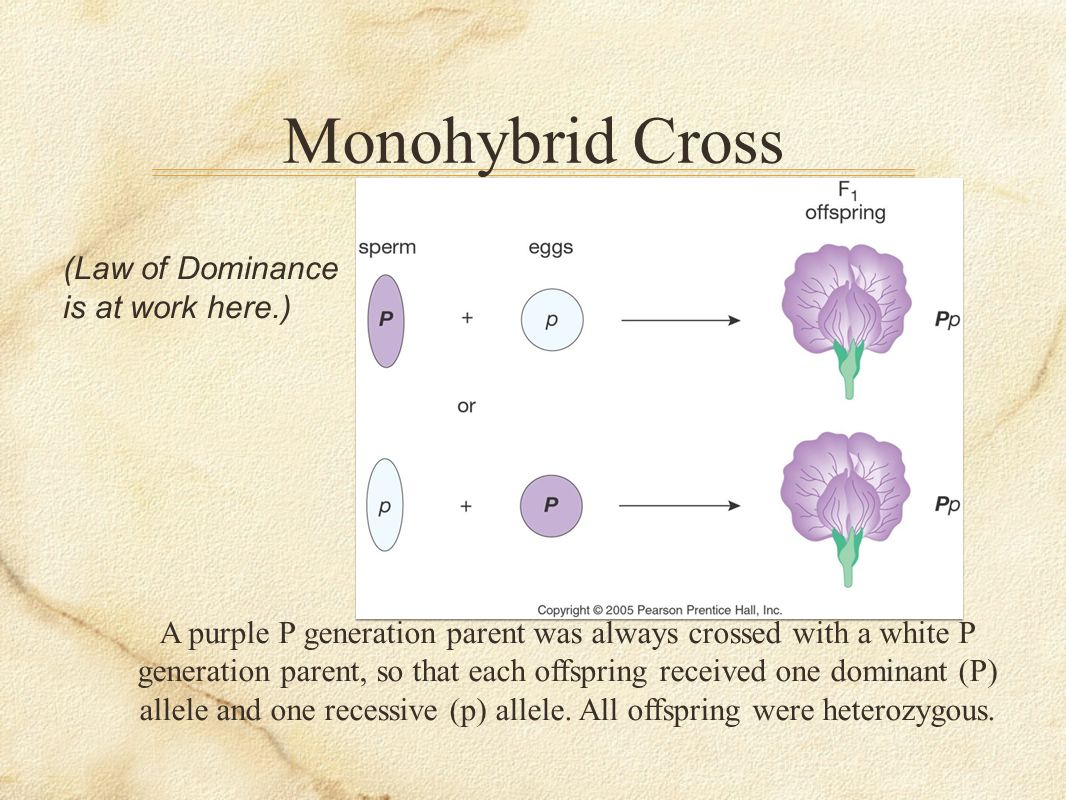 Monohybrid Cross (Law of Dominance is at work here.)