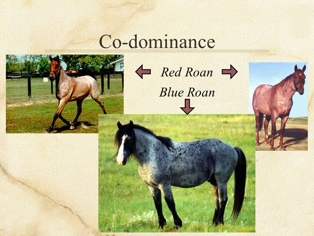 Co-dominance Red Roan Blue Roan