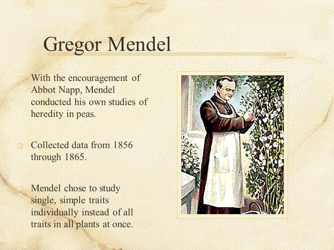 Gregor Mendel With the encouragement of Abbot Napp, Mendel conducted his own studies of heredity in peas.