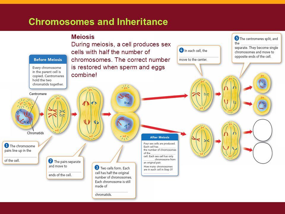 Chromosomes and Inheritance