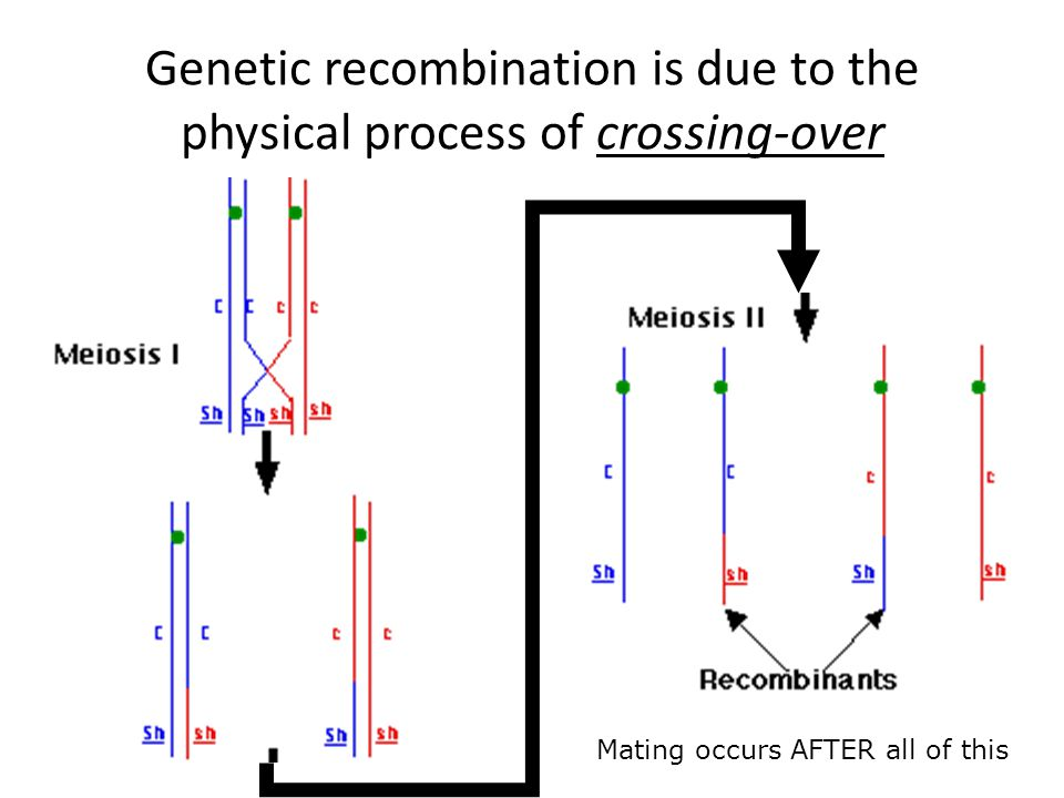 Genetic recombination is due to the physical process of crossing-over