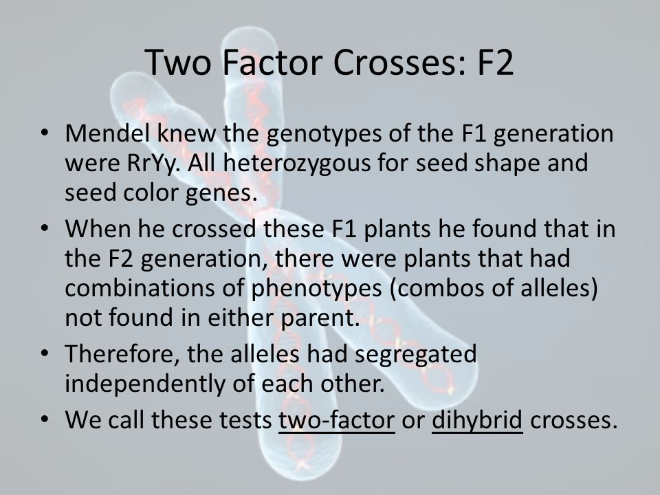 Two Factor Crosses: F2 Mendel knew the genotypes of the F1 generation were RrYy. All heterozygous for seed shape and seed color genes.