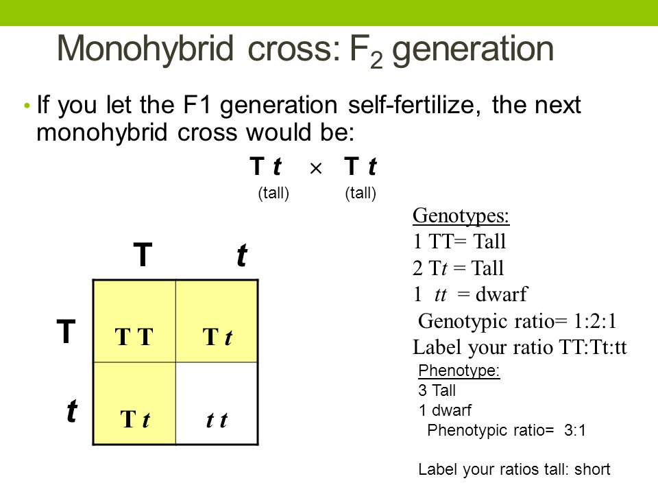 Monohybrid cross: F2 generation