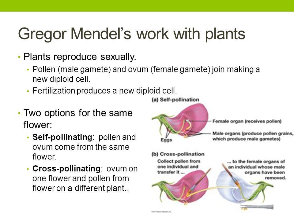 Gregor Mendel's work with plants