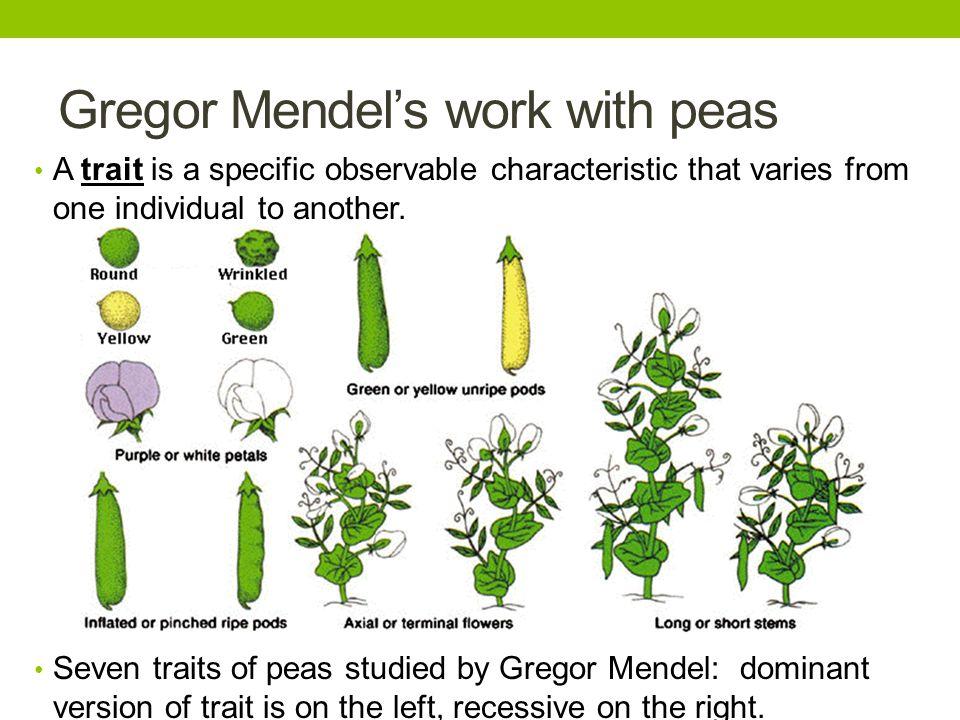 Gregor Mendel's work with peas