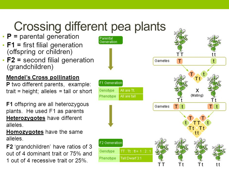 Crossing different pea plants