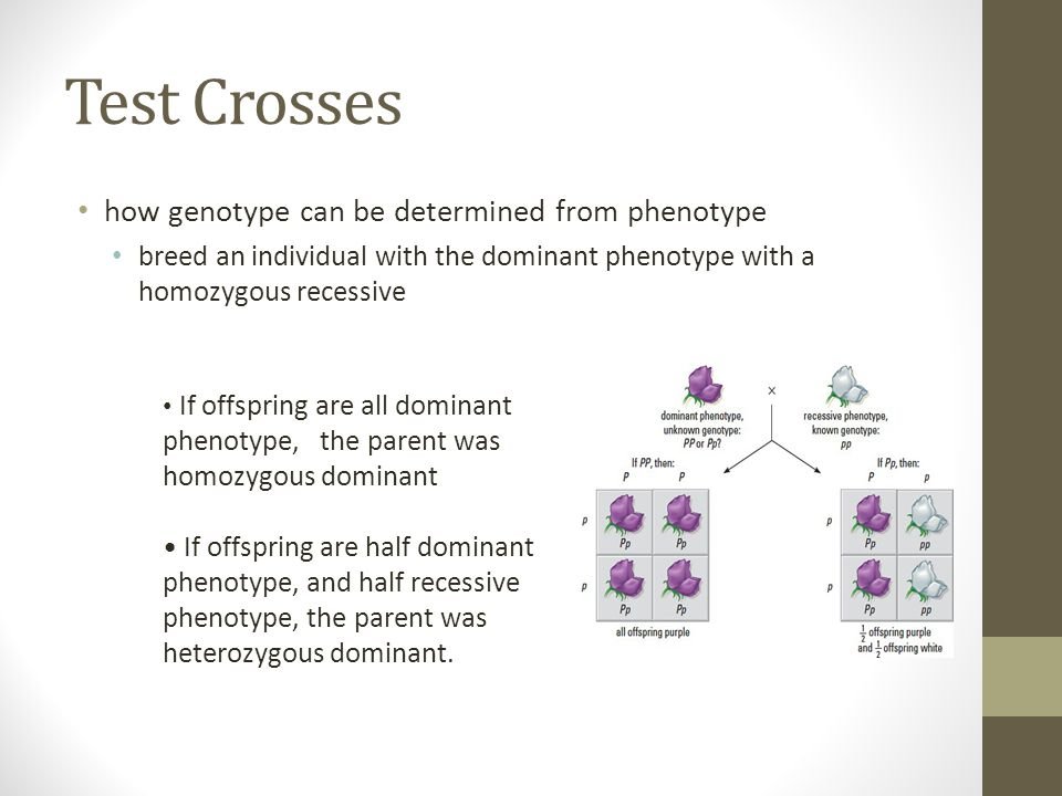 Test Crosses how genotype can be determined from phenotype