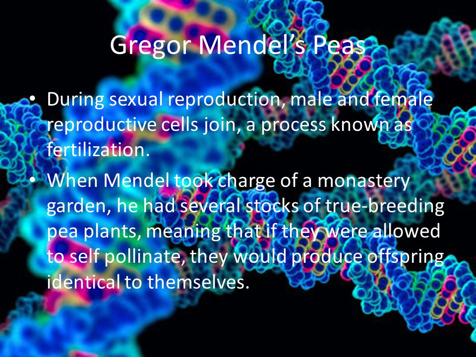 Gregor Mendel's Peas During sexual reproduction, male and female reproductive cells join, a process known as fertilization.