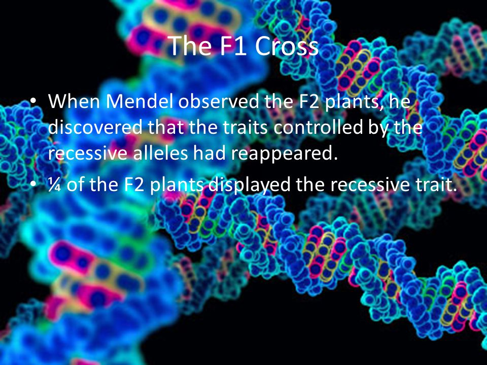 The F1 Cross When Mendel observed the F2 plants, he discovered that the traits controlled by the recessive alleles had reappeared.