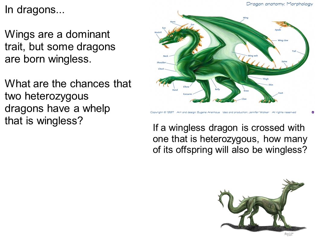 Wings are a dominant trait, but some dragons are born wingless.