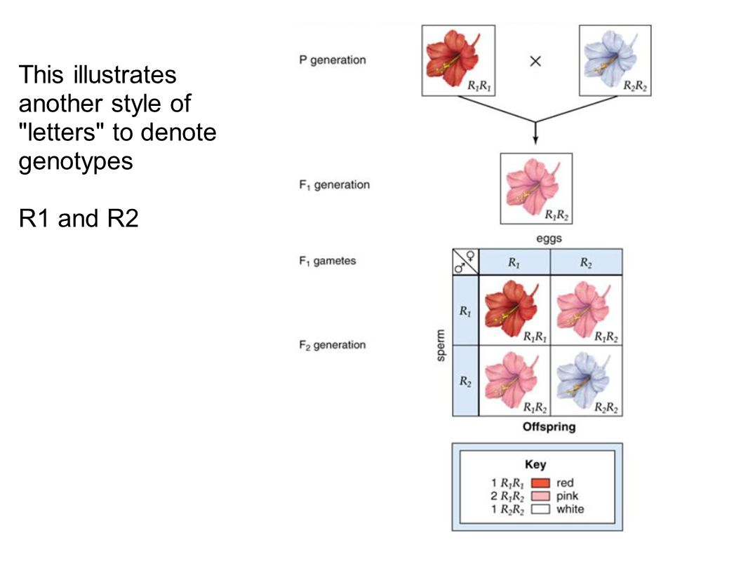 This illustrates another style of letters to denote genotypes
