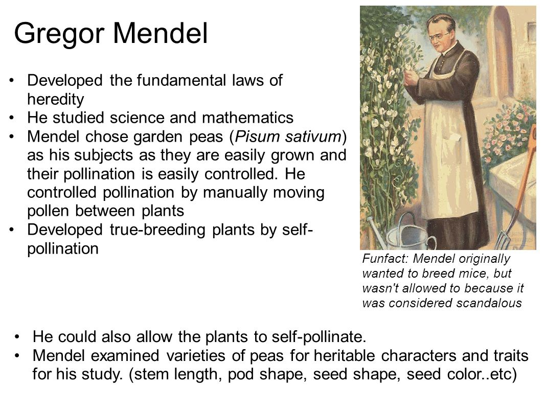 Gregor Mendel Developed the fundamental laws of heredity