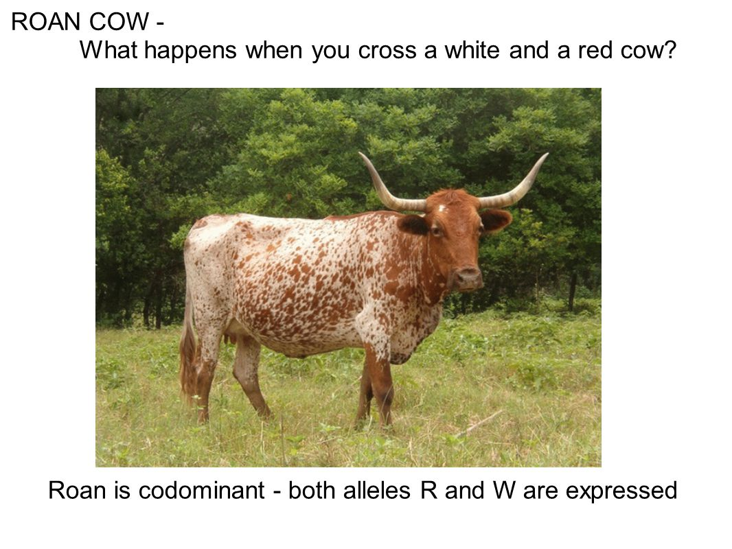 ROAN COW - What happens when you cross a white and a red cow