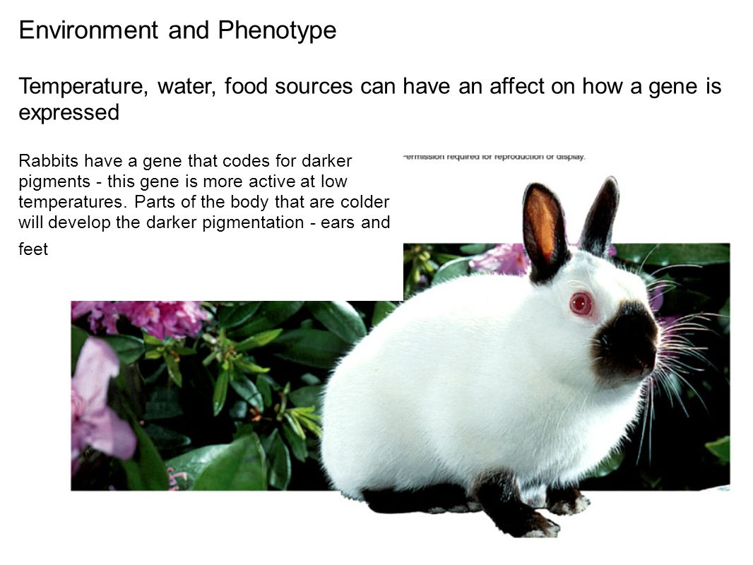 Environment and Phenotype Temperature, water, food sources can have an affect on how a gene is expressed