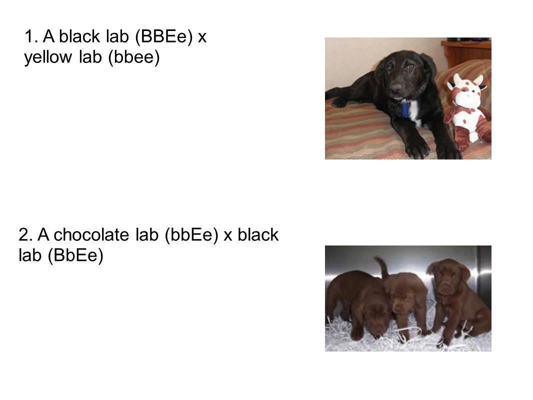 1. A black lab (BBEe) x yellow lab (bbee)