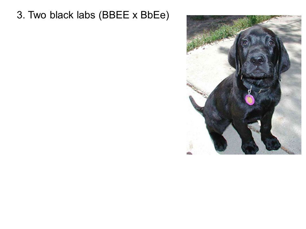 3. Two black labs (BBEE x BbEe)