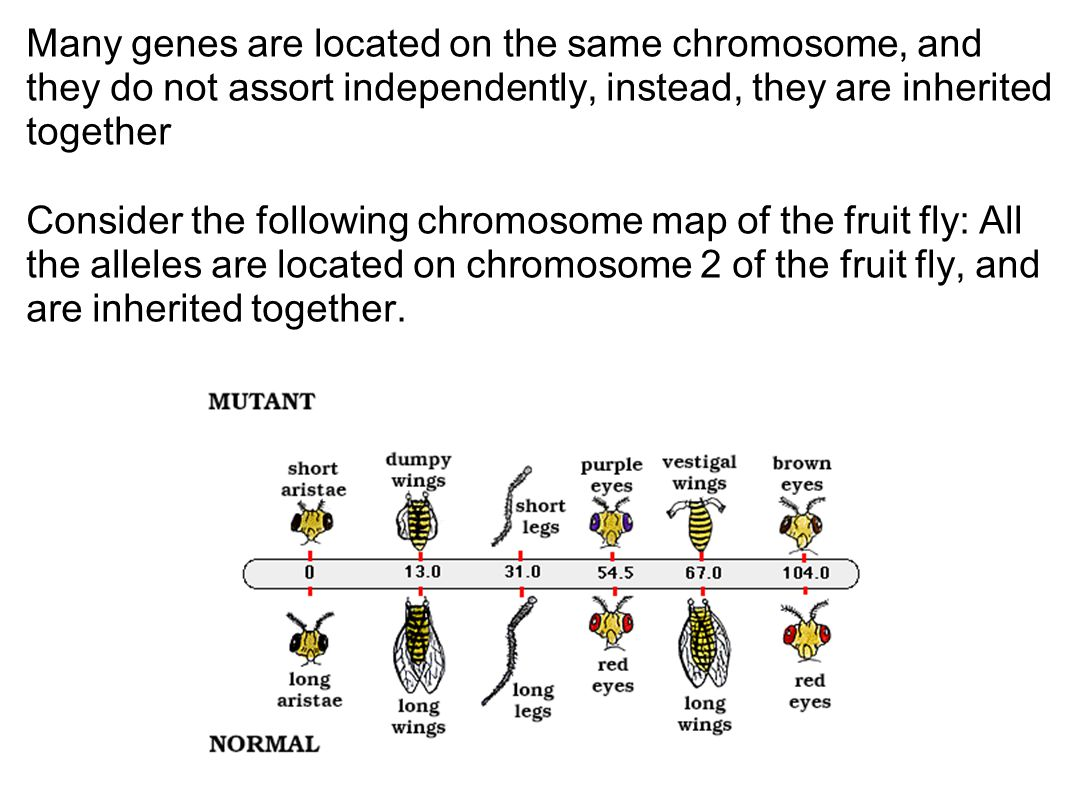 Many genes are located on the same chromosome, and they do not assort independently, instead, they are inherited together