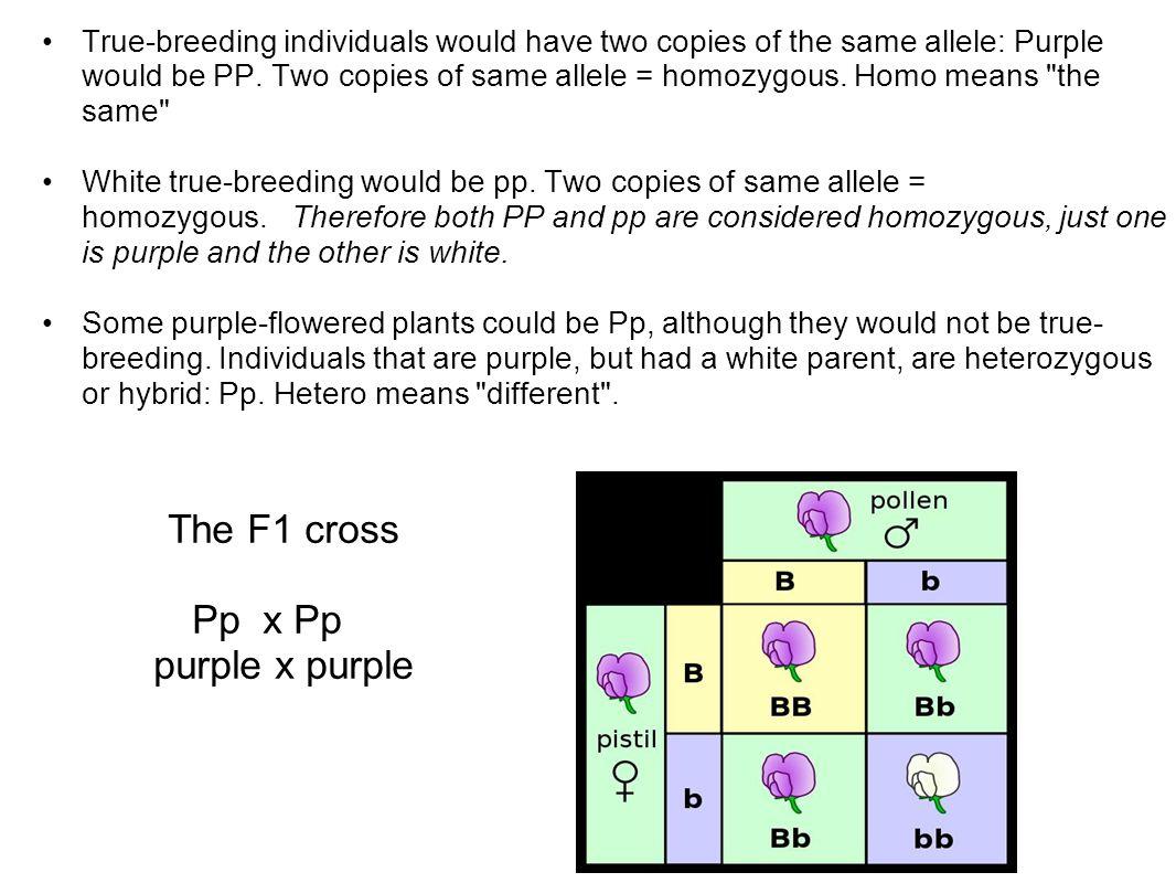 The F1 cross Pp x Pp purple x purple