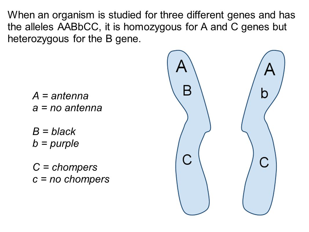 When an organism is studied for three different genes and has the alleles AABbCC, it is homozygous for A and C genes but heterozygous for the B gene.
