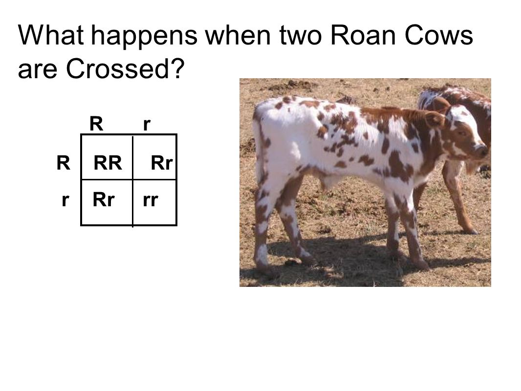 What happens when two Roan Cows are Crossed