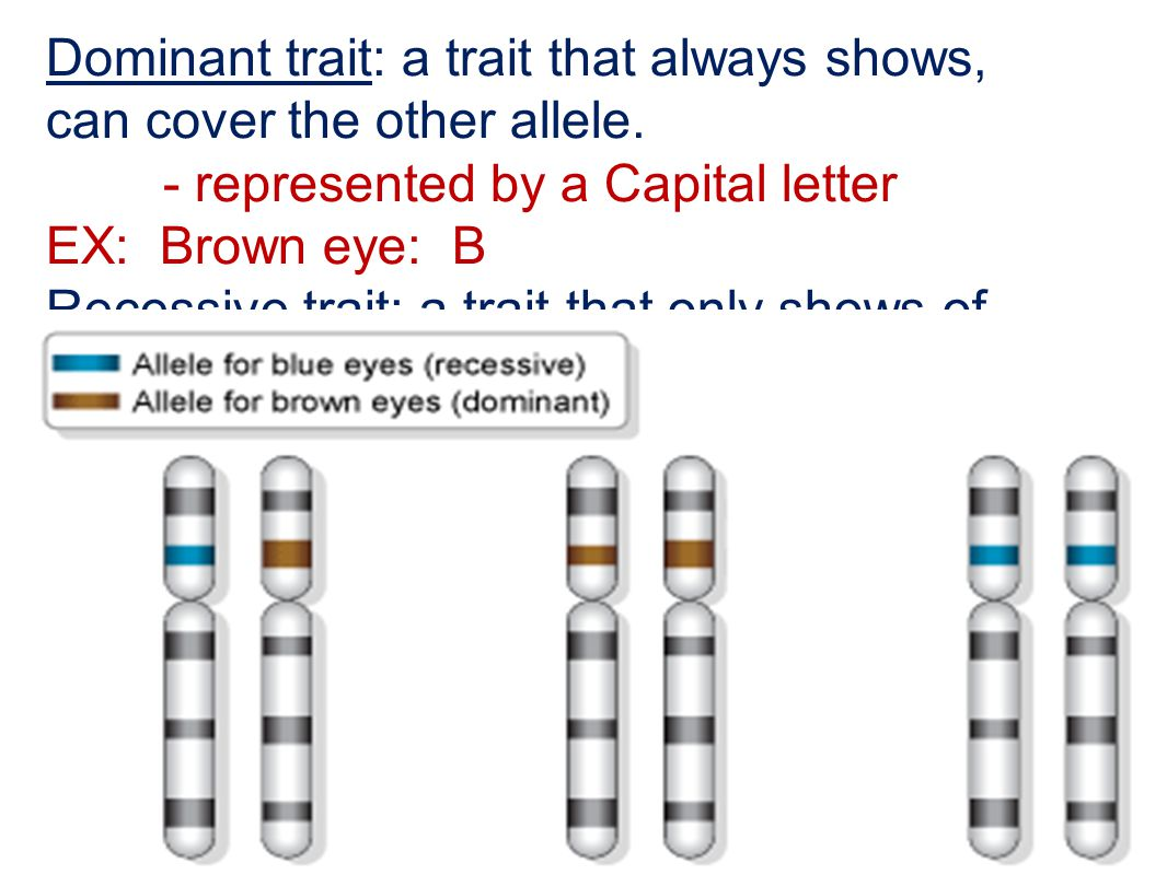 Dominant trait: a trait that always shows, can cover the other allele.