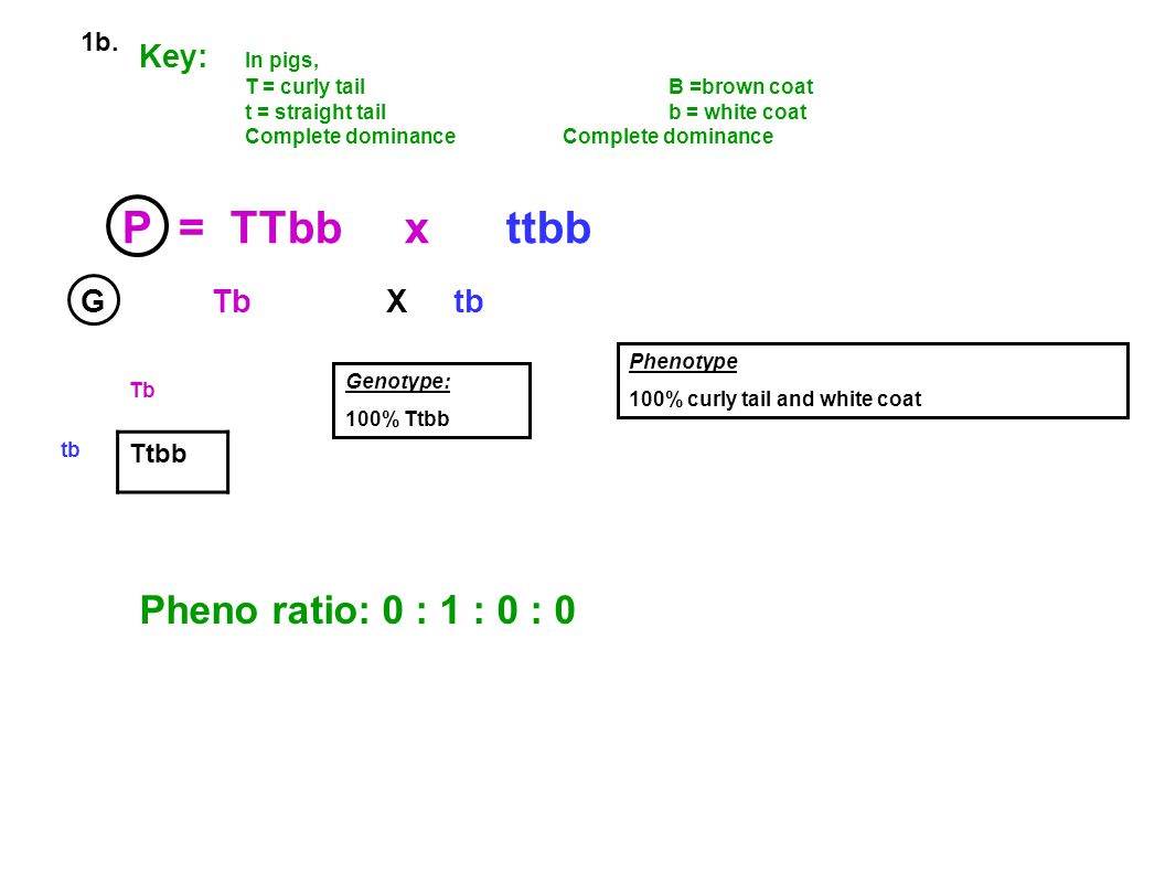 P = TTbb x ttbb Pheno ratio: 0 : 1 : 0 : 0 Key: In pigs, G Tb X tb 1b.