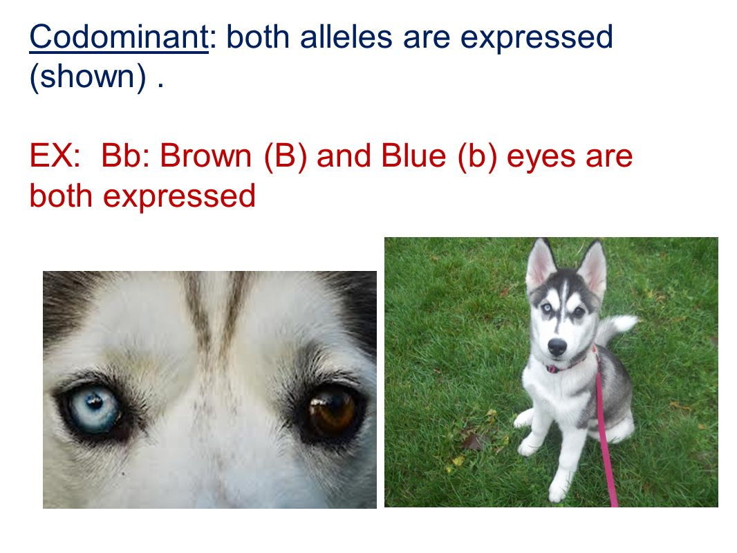 Codominant: both alleles are expressed (shown) .