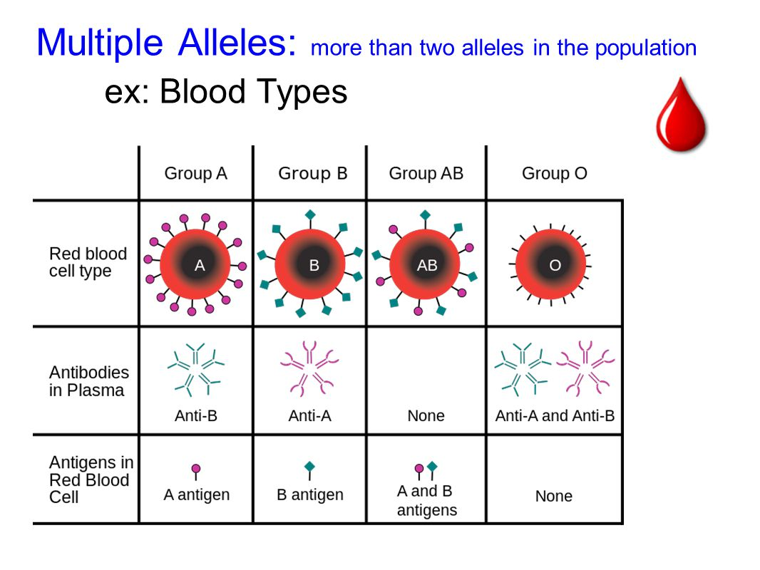 Multiple Alleles: more than two alleles in the population