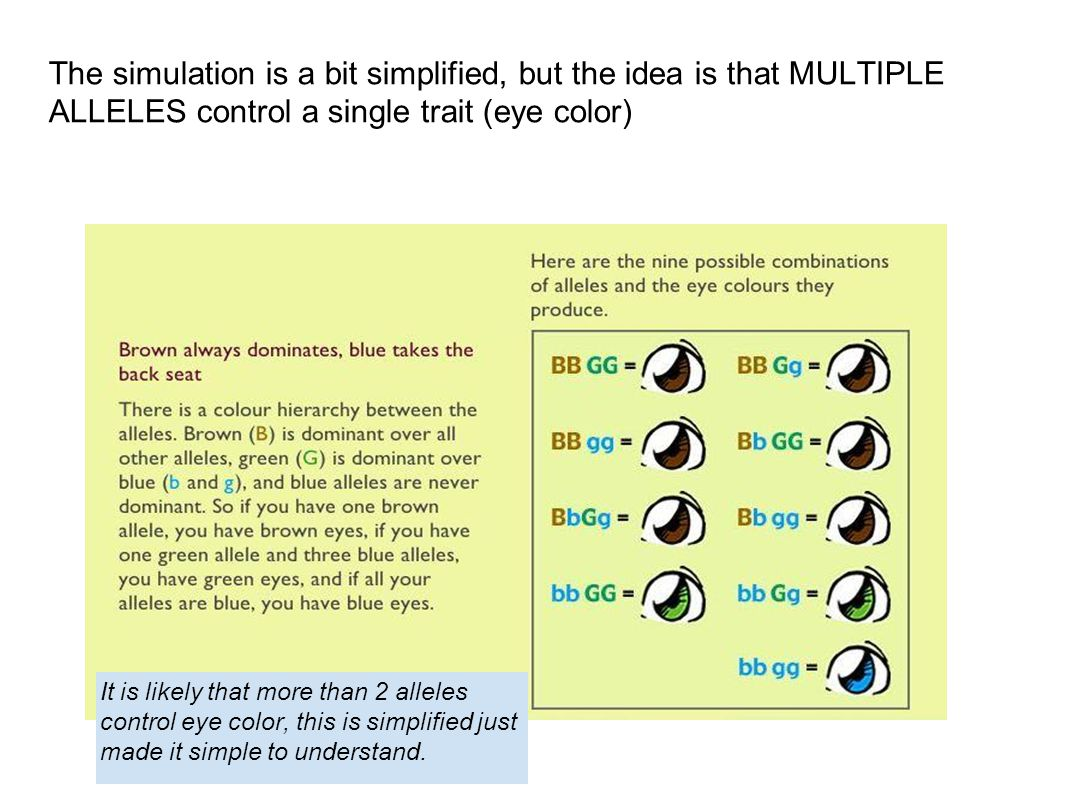 The simulation is a bit simplified, but the idea is that MULTIPLE ALLELES control a single trait (eye color)