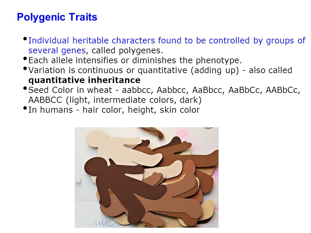 Polygenic Traits Individual heritable characters found to be controlled by groups of several genes, called polygenes.