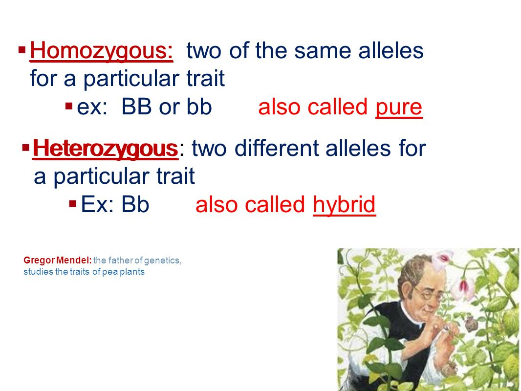 Homozygous: two of the same alleles for a particular trait