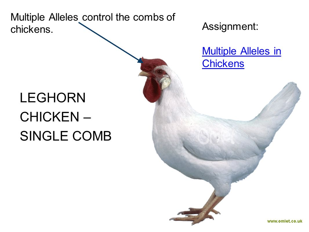 LEGHORN CHICKEN – SINGLE COMB