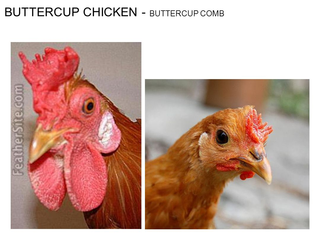 BUTTERCUP CHICKEN - BUTTERCUP COMB